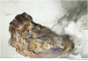 An oyster releasing sperm
