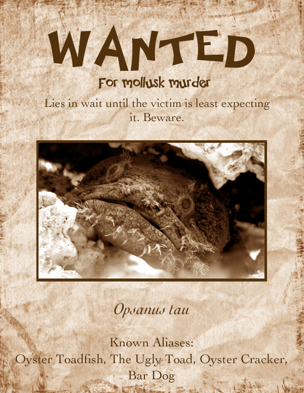 Oyster Toadfish Most Wanted Poster