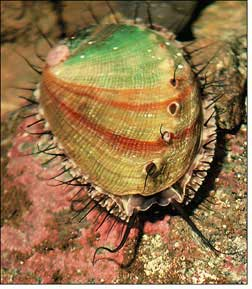 A red abalone sea snail from California.