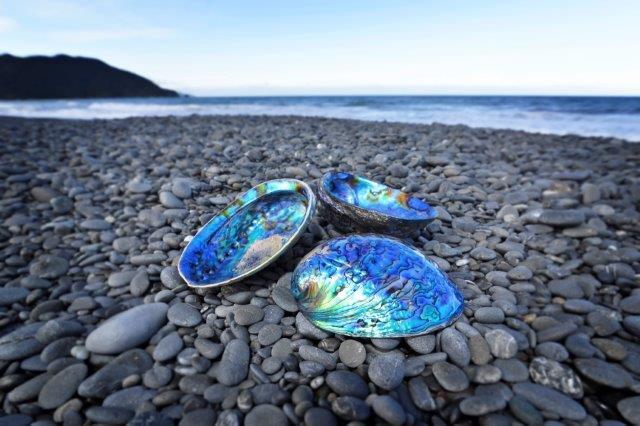 Ariki Paua Shells
